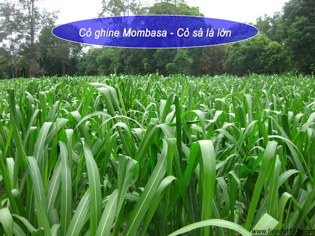 Tổng hợp các giống cỏ nuôi các trắm cỏ