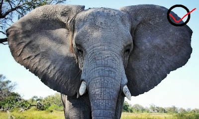 """The Conservatives inability to stop the ivory trade, """"risks the extinction of elephants'"""