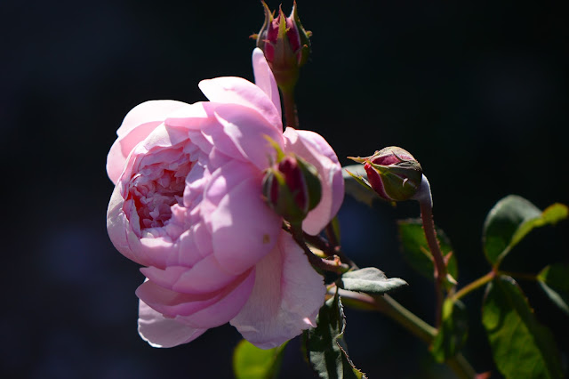 The Alnwick Rose, david austin, rose, english rose, photography, desert garden, small sunny garden, amy myers, arizona garden