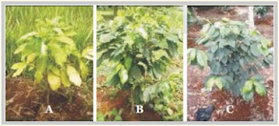 Gambar2. Tanaman kopi tanpa pelindung (A), dengan pelindung (B), pelindung terlalu rapat (C)
