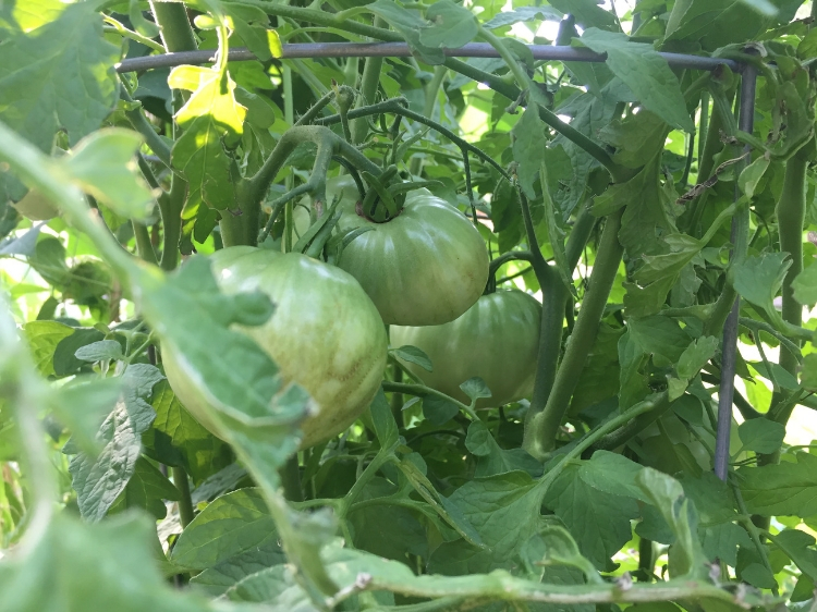 How to Grow Cherokee Purple Tomatoes // www.thejoyblog.net