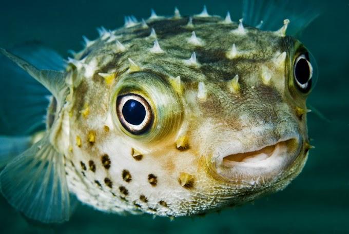 """பேத்தை மீன் ( """"Puffer Fish"""" )பற்றிய சுவாரசியமான 10 தகவல்கள்"""