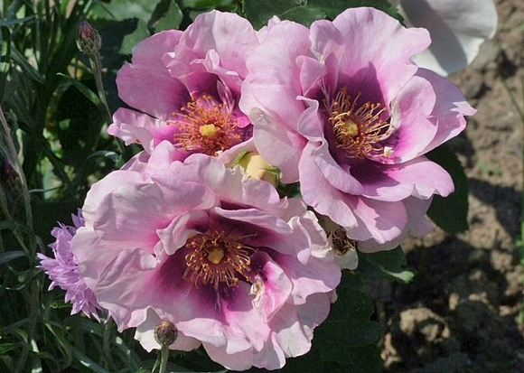 Eyes for You rose сорт розы фото