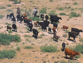 cattle herd roundup