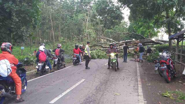 Pohon Milik PTPN VIII Tambaksari Tumbang, Lalin Sempat Terganggu