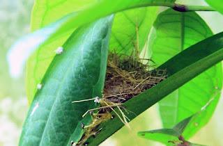 Sarang Burung Prenjak Di Habitatnya