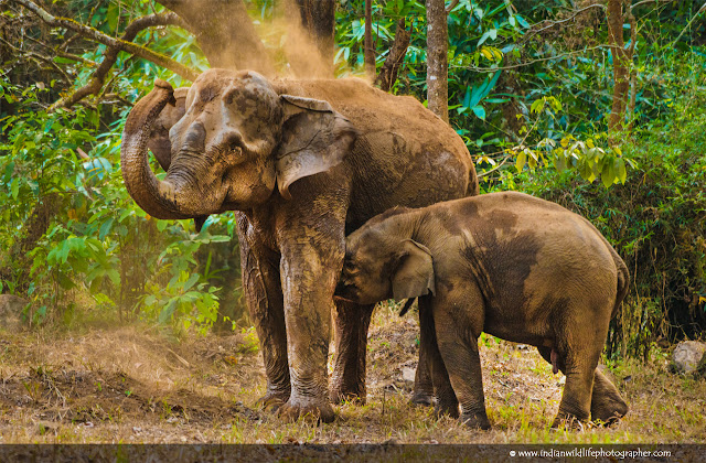 Indian elephant,Elephas maximus indicus,  Asian elephant, 	Elephantidae