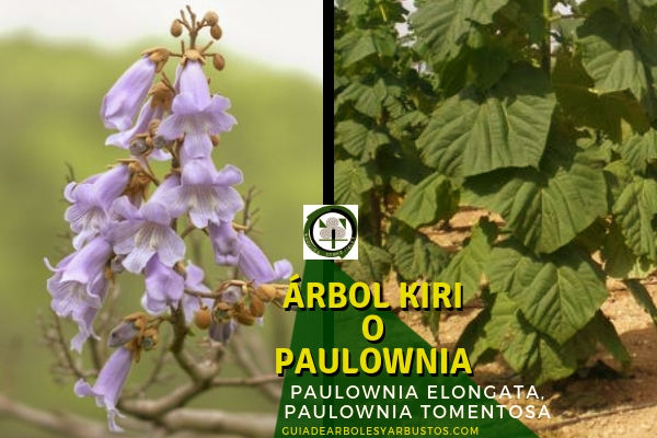 La paulownia o árbol kiri, para reproducirlo hay varias formas peo nosotros aconsejamos por esquejes de raíz,
