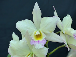 Iwanagara Apple Blossom - Dialaelia Snowflake X BLC Orange Nuggett