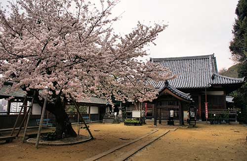 Kannonji Temple cherry tree, Fukuoka Prefecture.