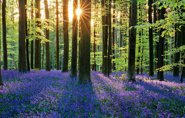 Like the Land of Fairy Tales, The Forest in Belgium It Changes to Being Blue
