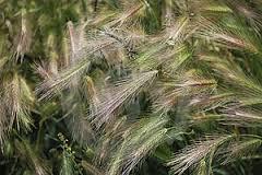 Planta de la cual los jilgueros extraen sus semillas