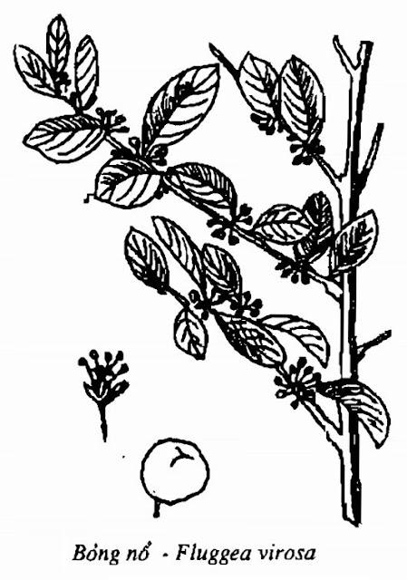 Hình vẽ Bỏng Nổ - Fluggea virosa - Nguyên liệu làm thuốc Chữa Cảm Sốt
