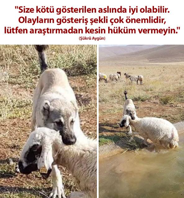 koyun, köpek, kangal, gölet, mera, otlatmak, koyun sürüsü, çoban, hayvancılık