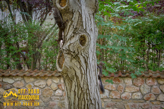 Squirrels playing on tree - Veljusa Monastery near Strumica, Macedonia
