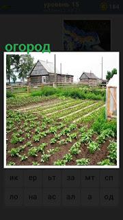 огород в деревне, посажена картошка ровными рядами