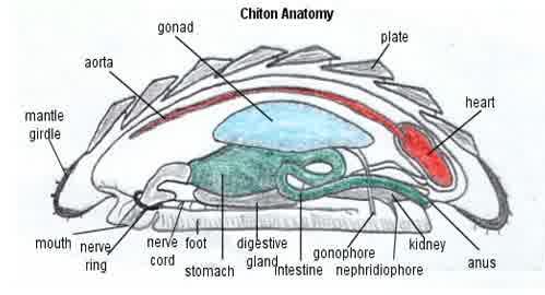 struktur tubuh Chiton sp