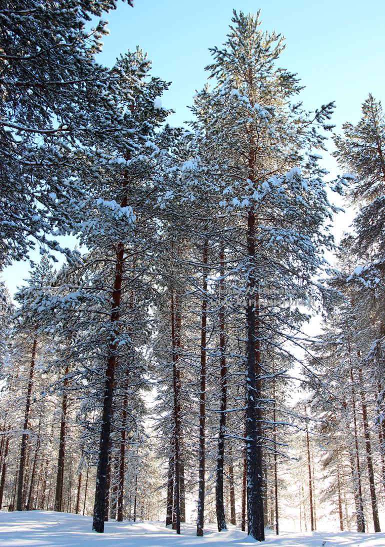 talvinen metsä kuusamo