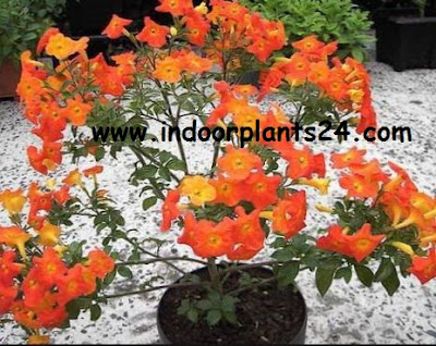 Streptosolen Jamesonii Plant [Marmalade bush]