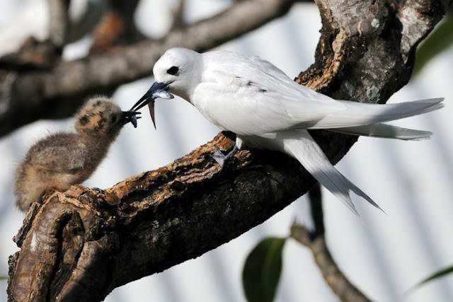 Chim nhàn trắng chủ yếu bắt cá nhỏ làm thức ăn. Tuổi thọ của loài chim lười biếng này cũng cao hơn so các loài chim khác, khoảng 17 năm.
