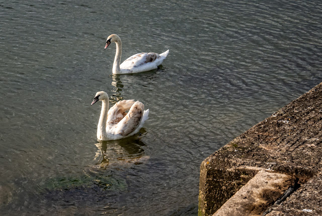 Photo of a closer view of the two cygnets by the slipway