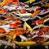 Mengenal Ikan Koi