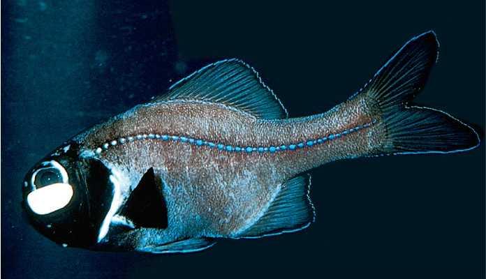 Flashing fish blinding flash lights.