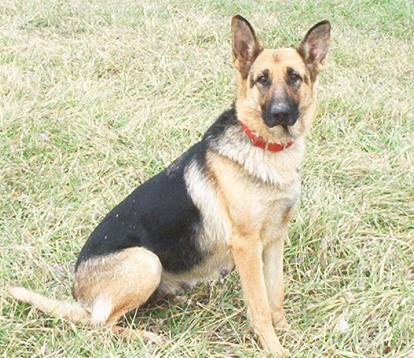 real german shepherd images german shepherd dog german shepherds 9915