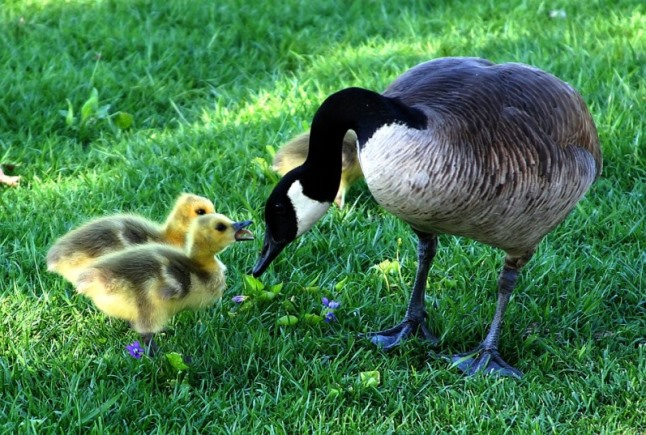 Happy Mother's goose and ducklings Pixabay image