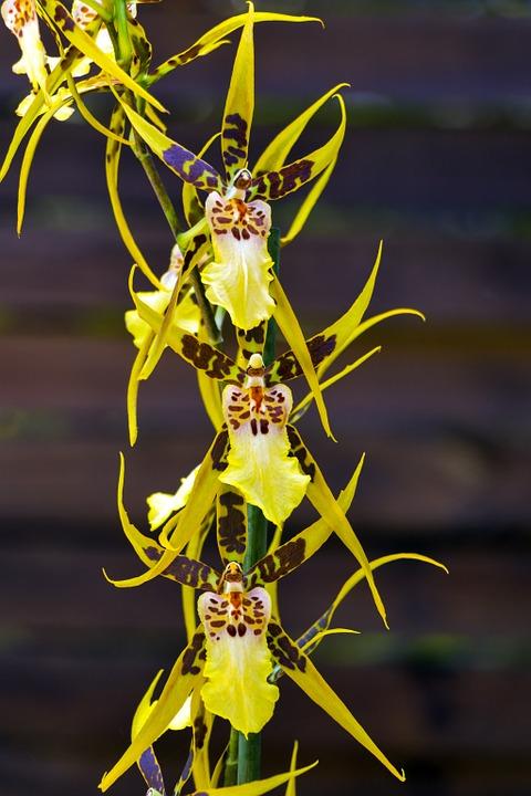 Brassia sau Orhideea păianjen