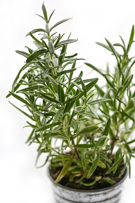 Tumbuhan Rosemary