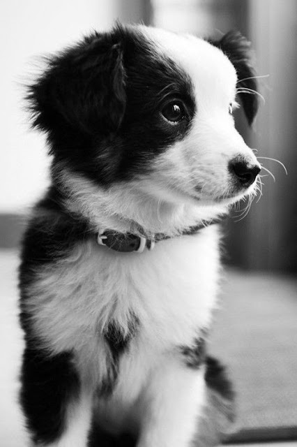 Cute Border Collie Puppies