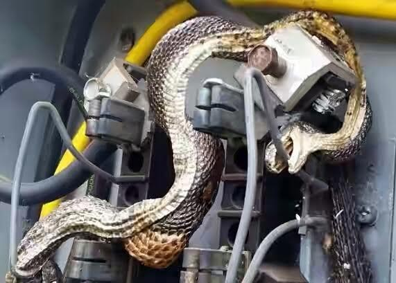 Photos: Two Deadly Snakes Electrocuted Inside Electrical Box