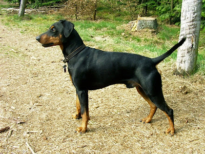 German Pinscher Dog Picture