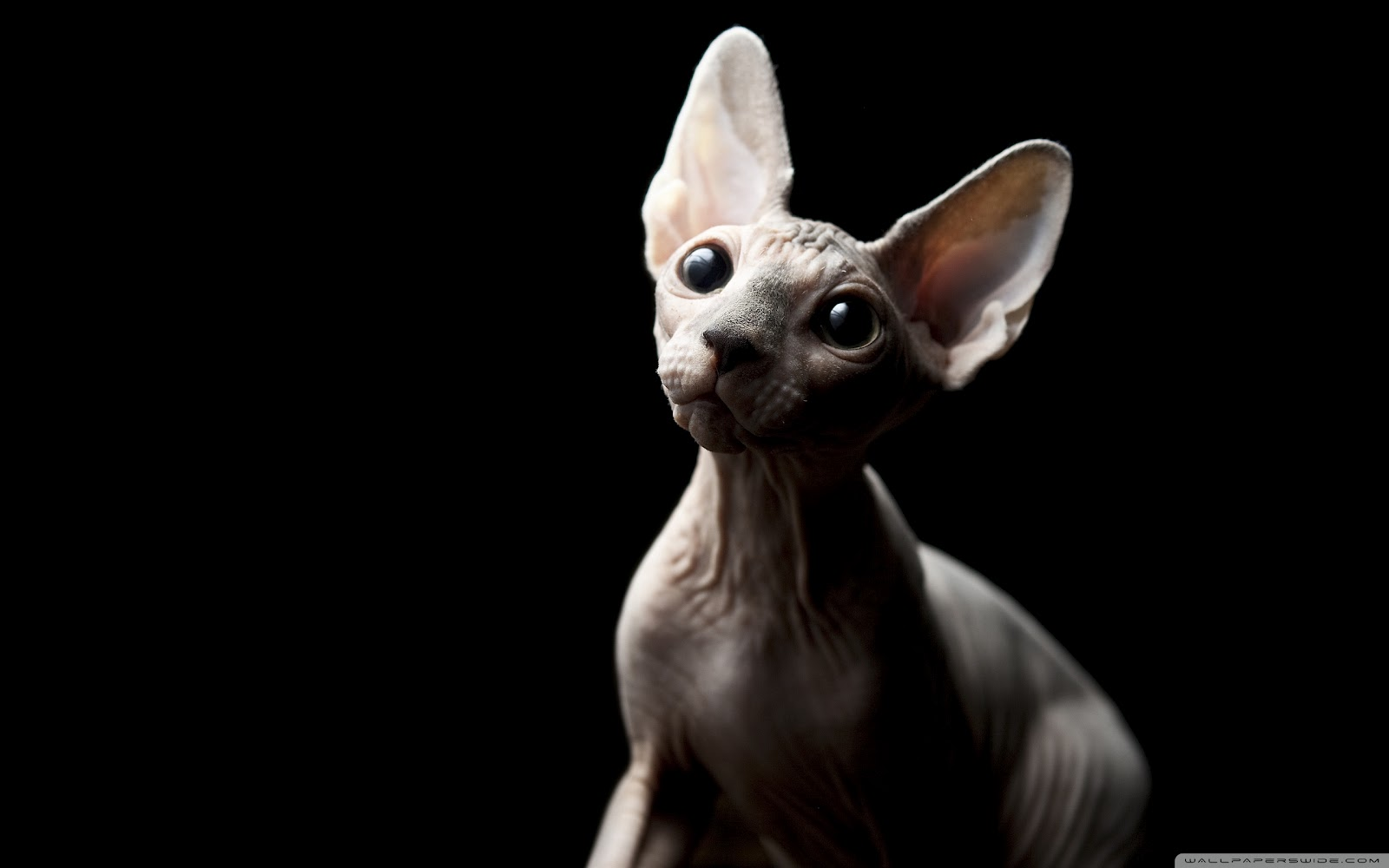 Sfinx Kat Sphynx Cat Wallpapers Fun Animals Wiki Videos Pictures
