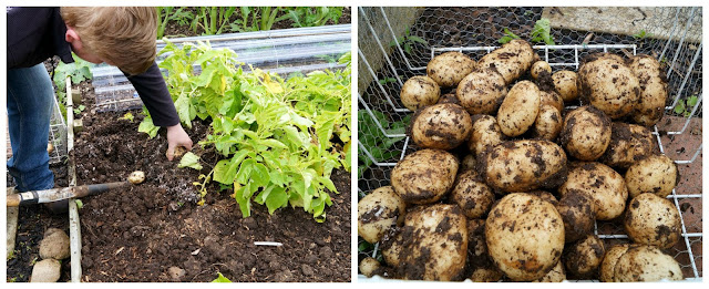 lifting the last potatoes - 'growourown.blogspot.com' ~ an allotment blog