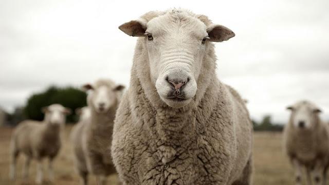 Σύνδεσμος Ελληνικής Κτηνοτροφίας: Κρούσματα καταρροϊκού πυρετού