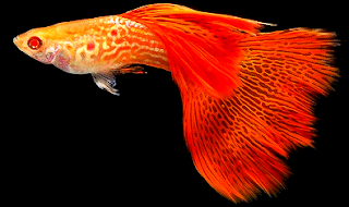 Gambar sejarah ikan guppy