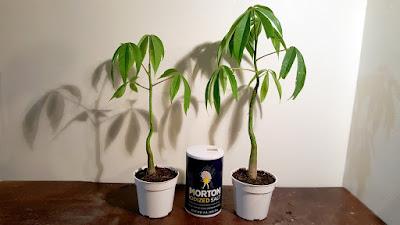 seedling kapok, silk tree