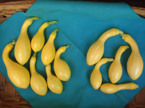 Crookneck Squash Trials