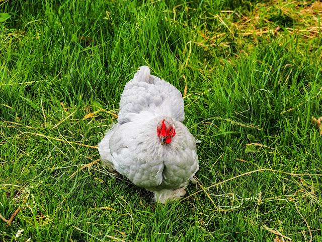 het liefste kipje