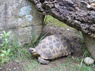 Tortue étoilée de Birmanie - Geochelone platynota