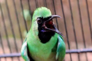 Burung Cucak Hijau Tidak Mau Kerja Saat Kontes Ini Solusinya