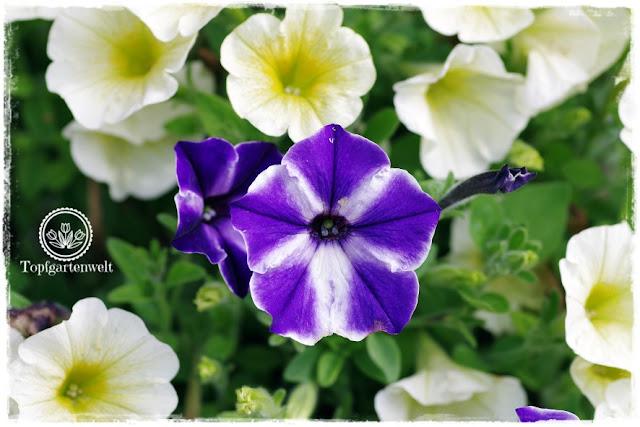 Gartenblog Topfgartenwelt Buchtipp Pflanzrezepte: Surfinien in gelb und lila im Blumenkisterl
