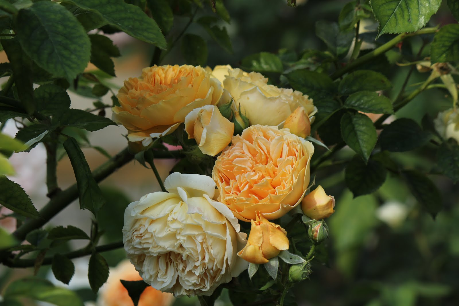 Crown Princess Margarethe
