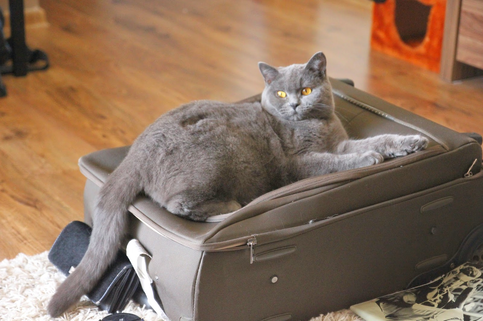 Czesław kot brytyjski.