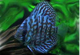ikan hias air tawar terindah indah