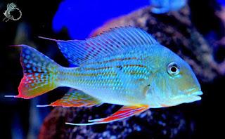 Cá hải hồ thích ăn gì? sống ở đâu? giá bao nhiêu tiền?