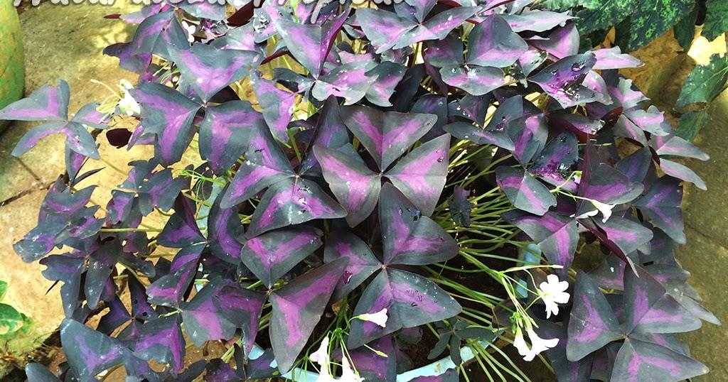 Las ventajas de cultivar falsos Tréboles o Flores de Oca Mira