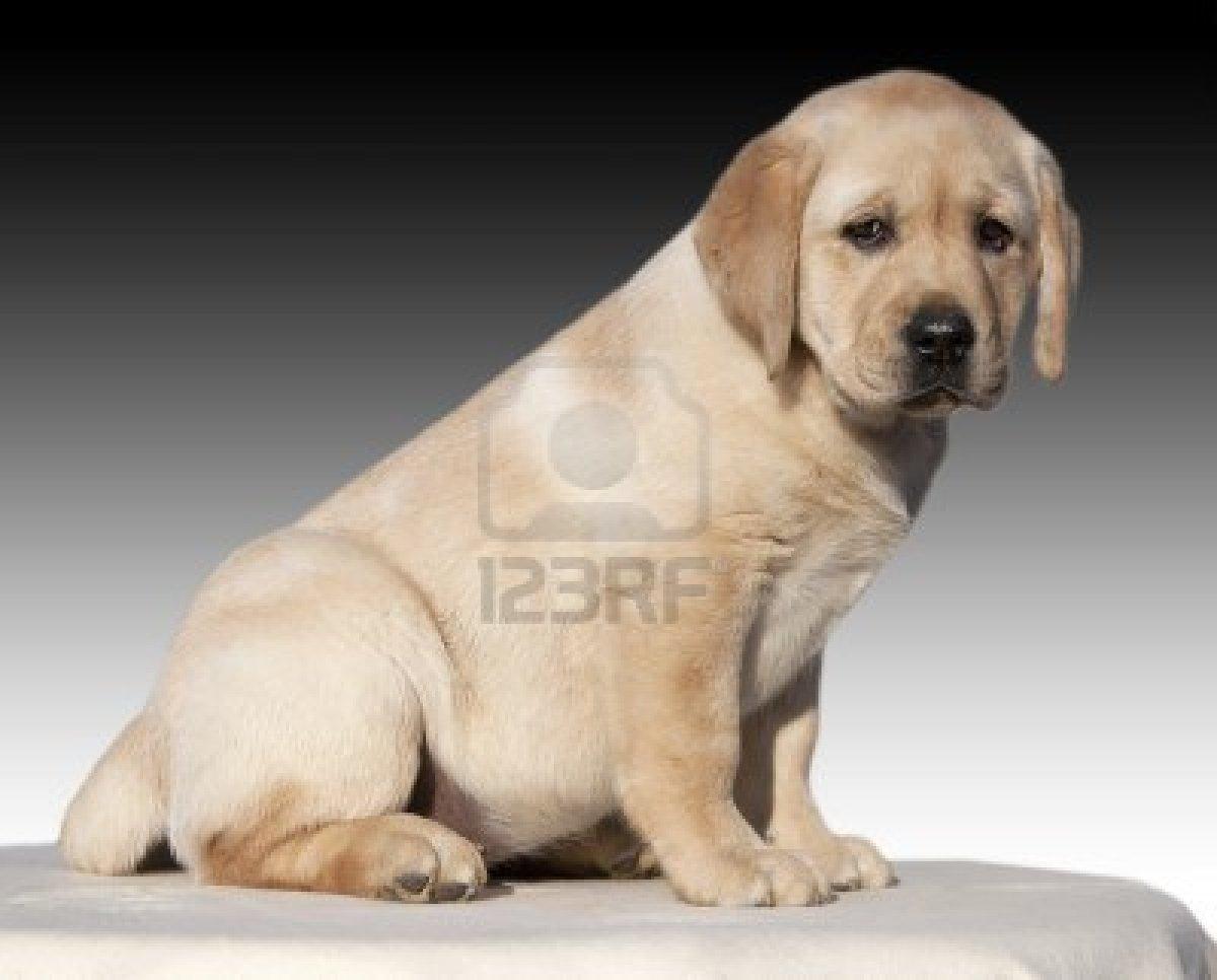 yellow lab dog - photo #36